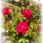 spring rose blooms