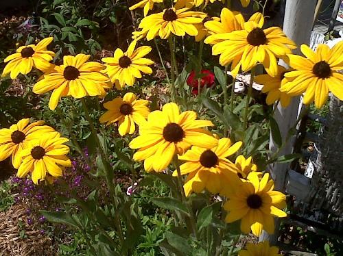 summer garden rudbeckia