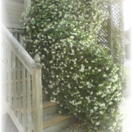 Confederate Jasmine and Thrifty Finds